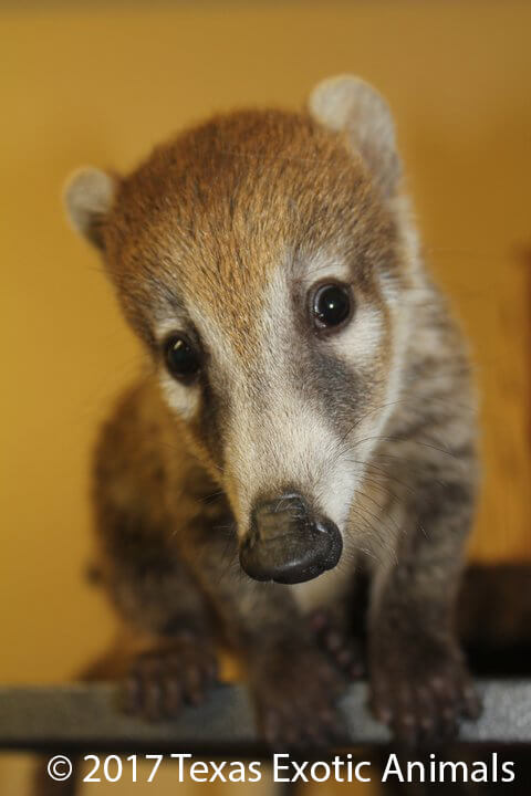 White Nosed Coati Texas Exotic Animals