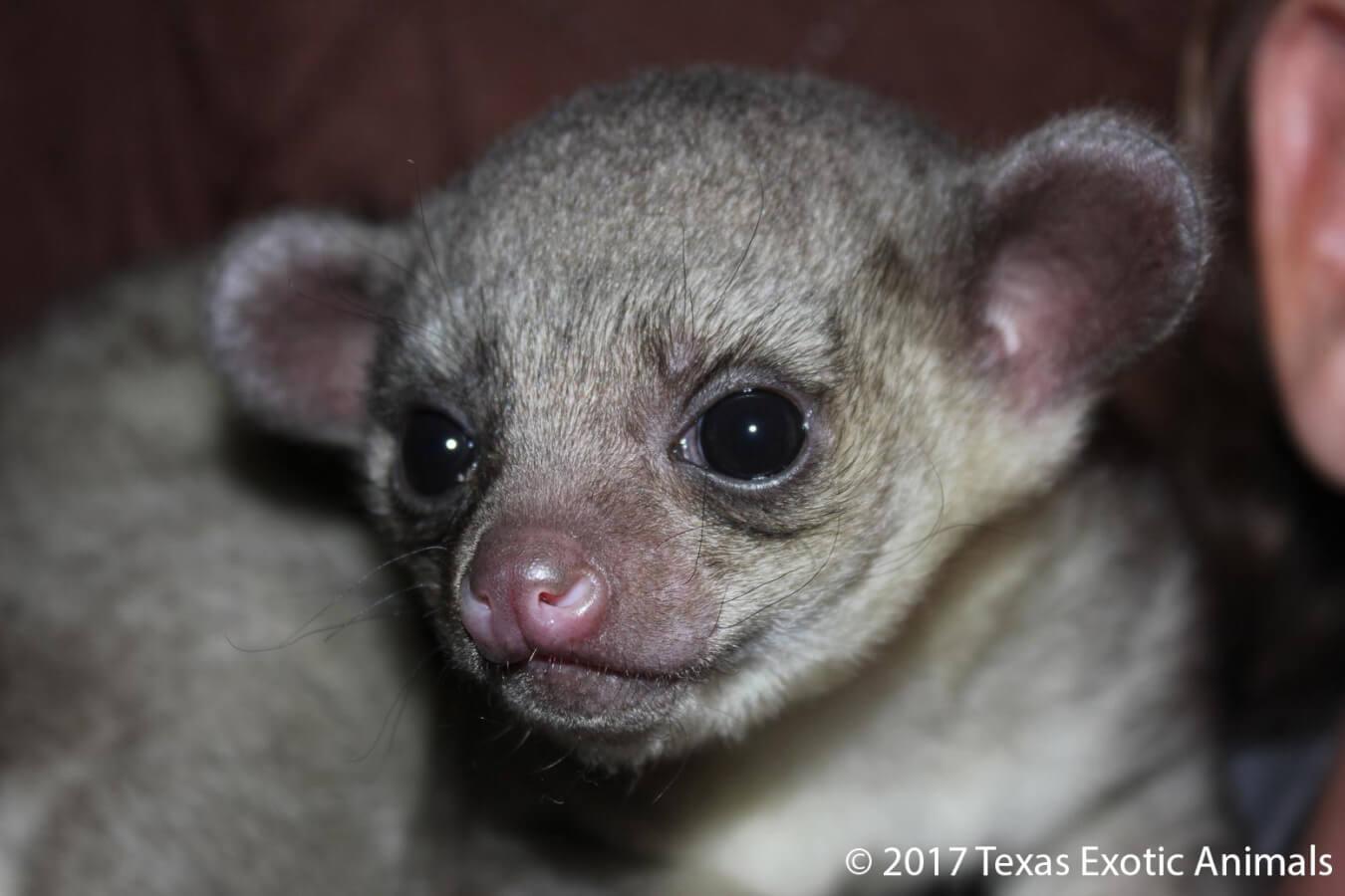 Kinkajou Texas Exotic Animals