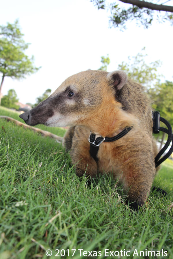 Mountain Coati Texas Exotic Animals
