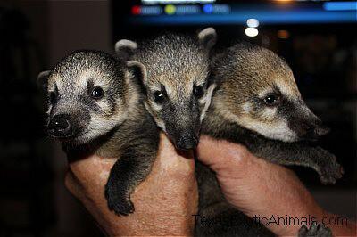 Mountain Coati Texas Exotic Animals