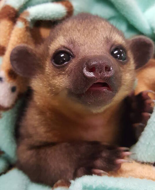 Baby Kinkajou For Sale