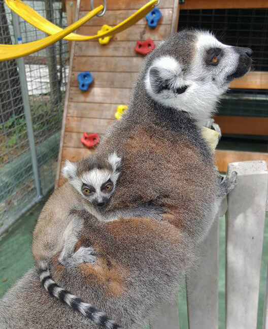 Ring Tailed Lemur Texas Exotic Animals