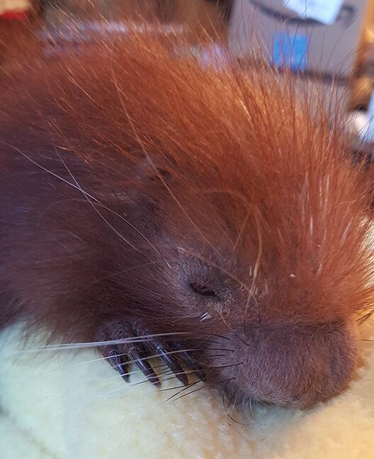 Baby Prehensal Tailed Porcupine